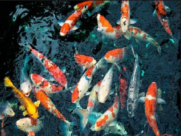 Nằm mơ thấy cá điềm lành hay điềm giữ