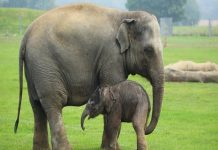 Nằm mơ thấy con voi điềm lành hay điềm giữ