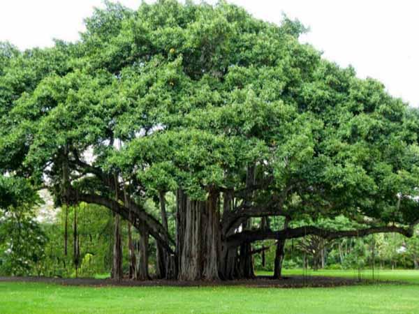 Mơ thấy cây cổ thụ - Điềm báo của giấc mơ thấy cây cổ thụ là gì