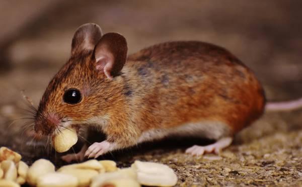 giấc mơ thấy chuột là điềm báo gì?
