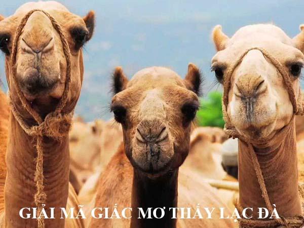 Giải mã giấc mơ thấy con lạc đà là điềm báo gì