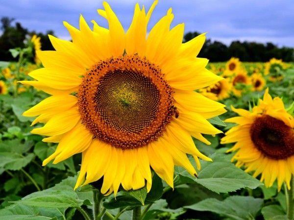 Giải mã giấc mơ thấy hoa hướng dương điềm lành hay dữ?