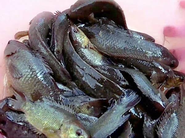 Nằm mơ thấy cá rô là điềm báo tốt hay xấu? nên đánh con số gì