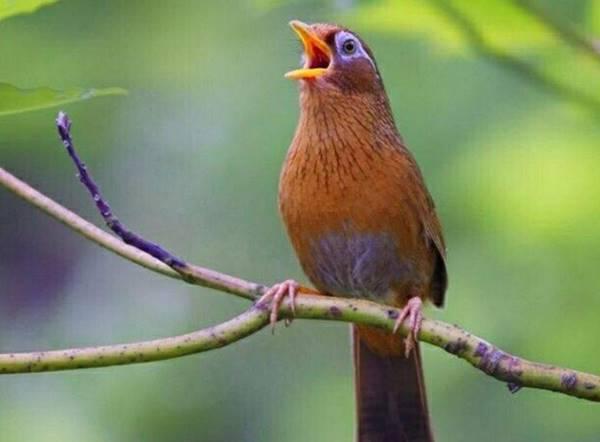 Giải mã điềm báo giấc mơ thấy chim sơn ca mang đến là gì