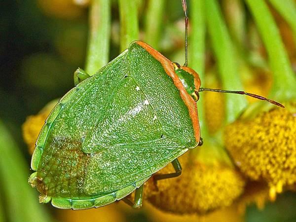 Nằm mơ thấy bọ xít là điềm báo gì? Đánh con số mấy